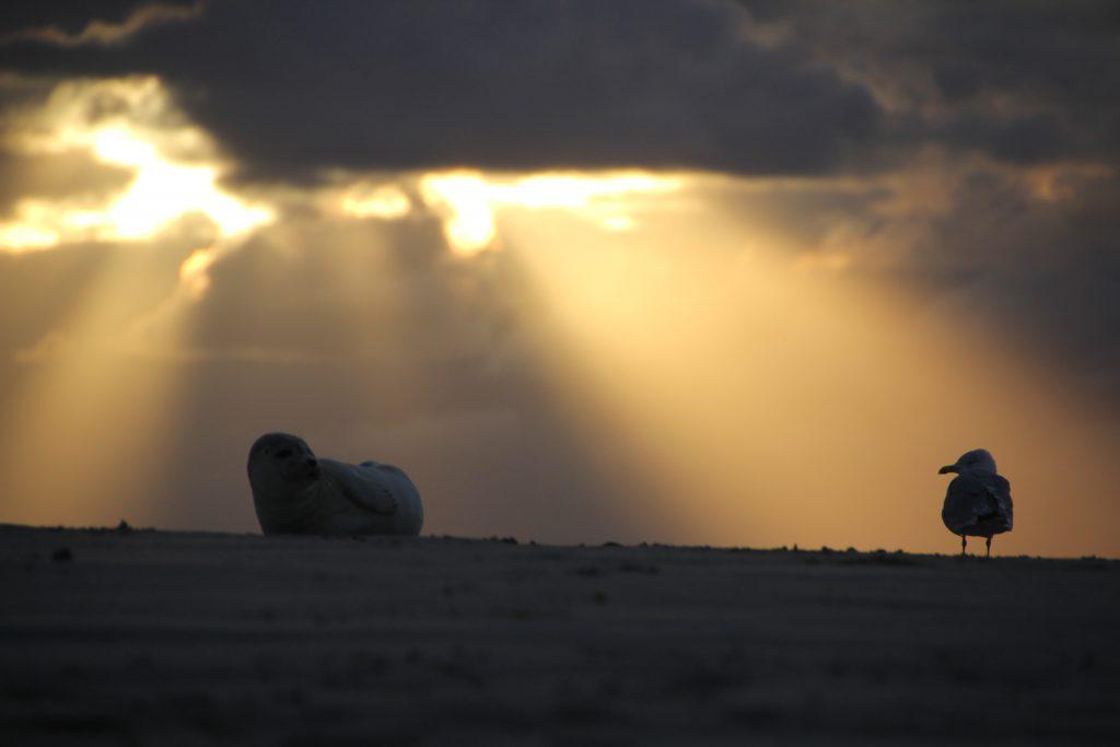 Robbe und Möwe vereint im Sonnenuntergang